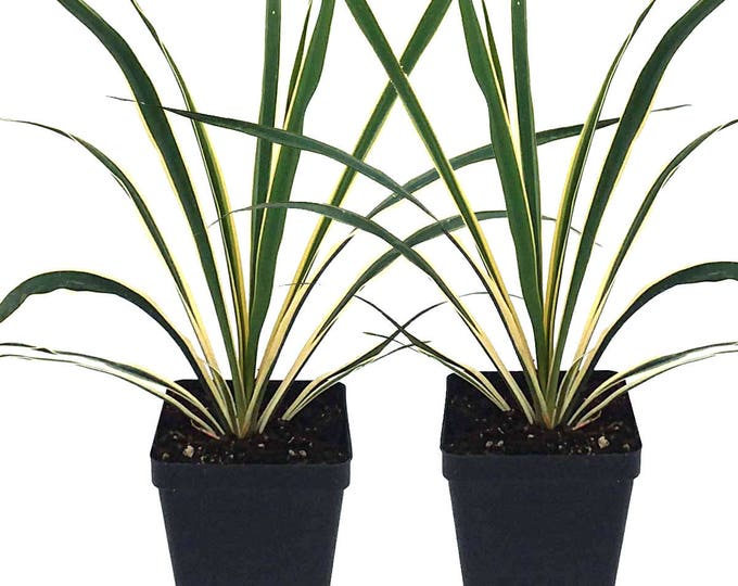 Set of 2 Yucca Bright Edge Plant Hardy Perennial Plant 4 Inch Potted Grown Organic
