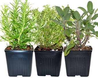 Thyme Rosemary Sage Set of 3 Plants Herb Collection Gourmet Assortment of Organic Herbs  - Great Gift Herb Kit Non-GMO