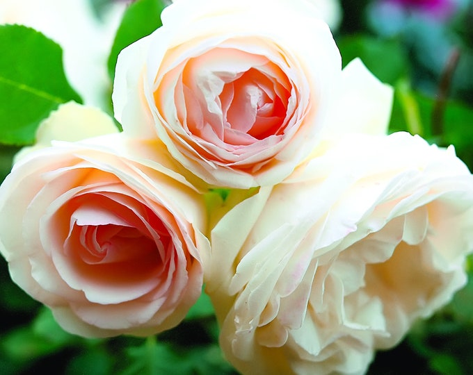White Eden Climbing Rose Plant Potted | 100+ Petals Hardy Own Root Climber - Repeat Blooming!  SPRING SHIPPING