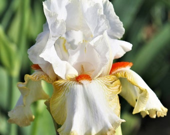 Halloween Halo Reblooming German Iris - Fragrant White and Yellow Flowers #1 Bare Root Rhizome Non-GMO Grown Organic - Shipping Now