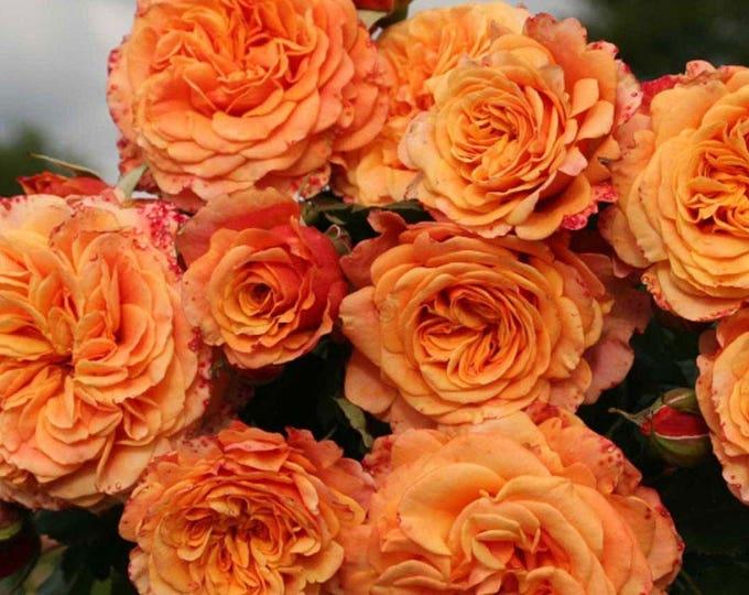 Crazy Love ™ Sunbelt ® Shrub Rose Plant Heat Loving Reblooming Fragrant Apricot Orange Flowers - Own Root Rose Potted - Non-GMO