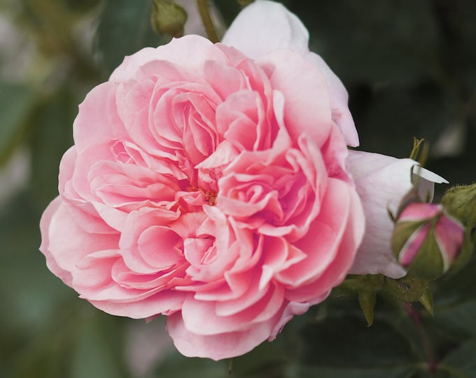 Colette Climbing Rose Plant Potted | Strong Fragrance Pink Flowers Own Root Climber - SPRING SHIPPING