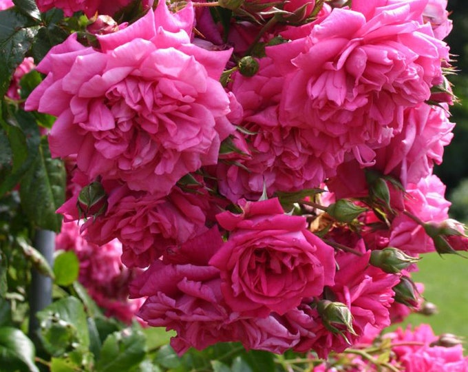 Laguna Climbing Rose Plant Potted - Fragrant Pink Flowers Own Root  - SPRING SHIPPING