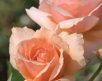 Apricot Candy ™  Rose Bush - Own Root Rose Reblooming Fragrant Apricot Orange Flowers Grown Organic Potted