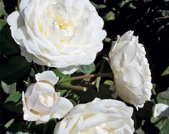 Cloud 10 Climbing Rose Plant Potted | Large White Flowers Own Root Easy To Grow Climber