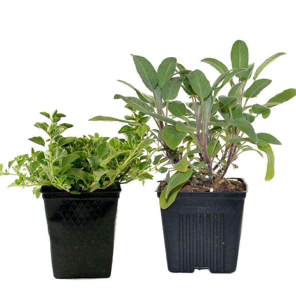 Herb Collection Sage And Oregano Grown Organic Herb Plants Contains 2 Live  Plants Potted   Great Gift For Gardeners Non GMO