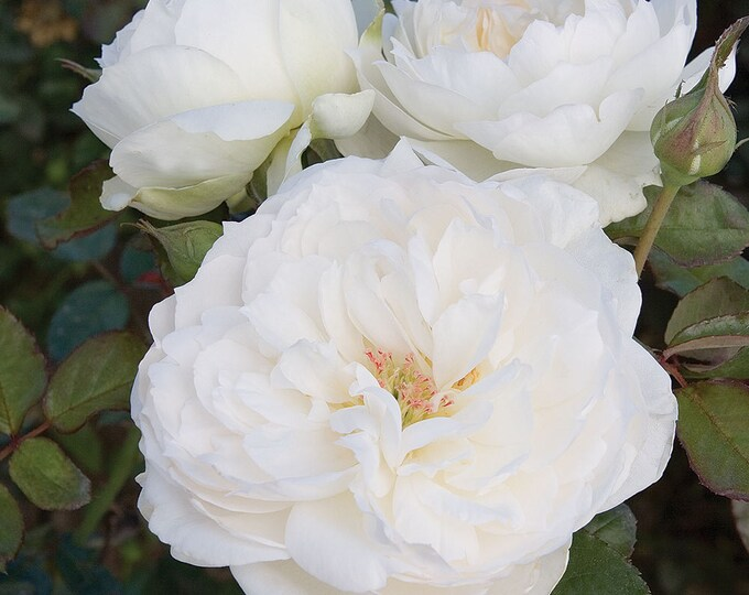 Bolero ™  Rose Bush - Very Fragrant Pure White Flowers - Easy To Grow Plant Grown Organic Potted - Own Root