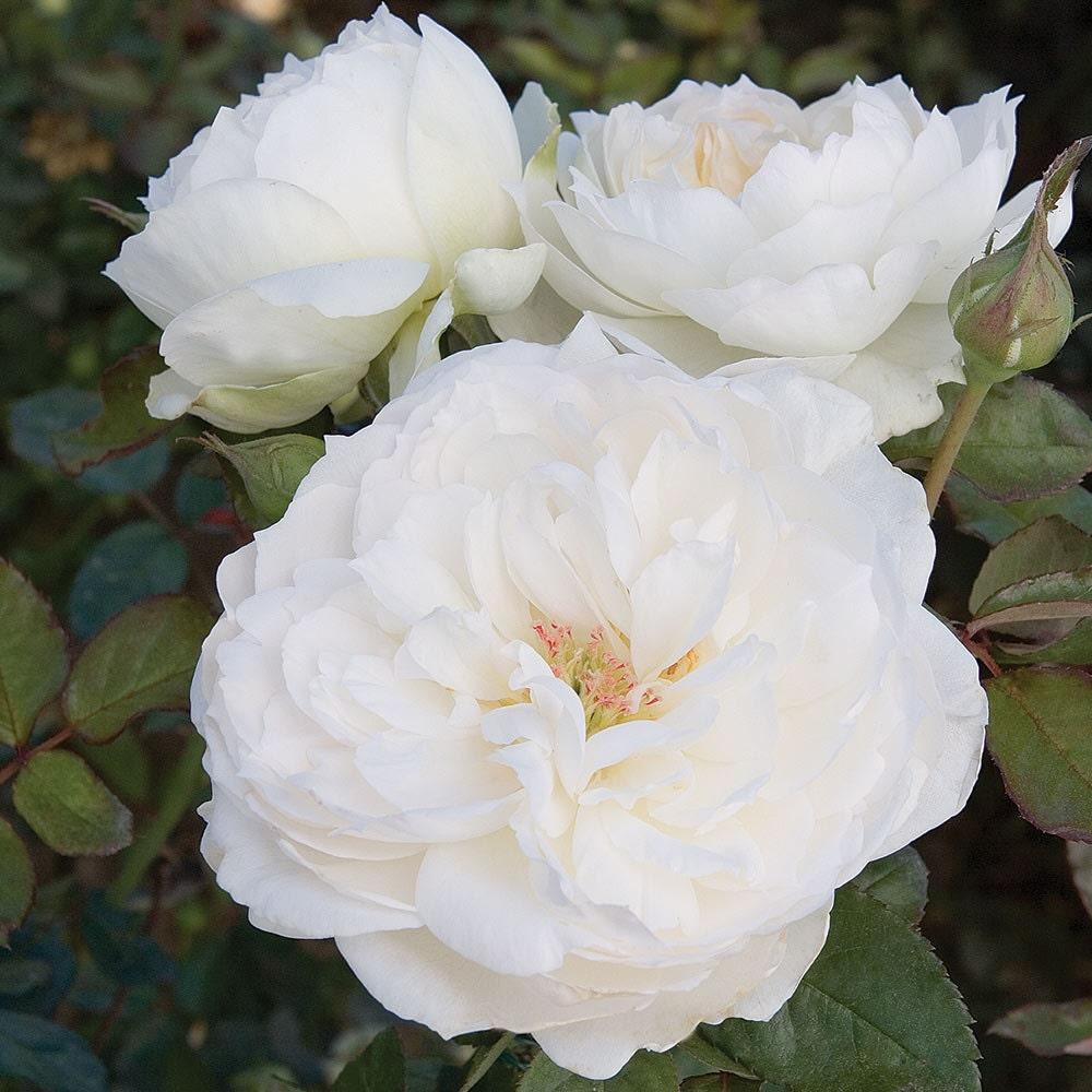 Bolero rose bush very fragrant pure white flowers easy to grow bolero rose bush very fragrant pure white flowers easy to grow plant grown organic potted own root mightylinksfo