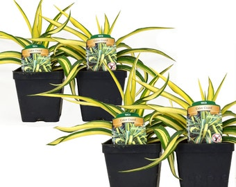 Set of 4 Yucca Color Guard Adams Needle Plants Organic Grown Shipped in 4 inch Container, with soil