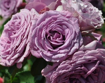 Arborose ® Quick Silver ™ Rose Bush Lush Lavender Purple Climbing Rose Grown Organic Potted - Own Root Non-GMO