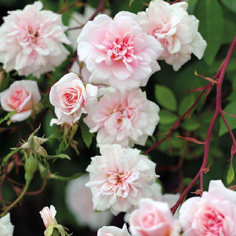 Cecile Brunner Rose Bush Fragrant Pink Climbing Rose Plant Own Root