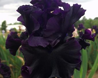 Black Lipstick Iris Plant 5: Pot  | Bicolor Deep Purple Black Flowers Tall Bearded Iris - Easy To Grow Perennial Ready To Plant