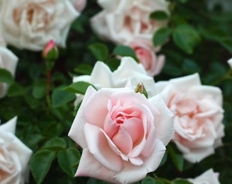 New Dawn Climbing Rose Plant Potted | Fragrant Pink Flowers  - Easy To Grow Own Root