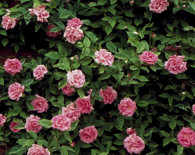 Zephirine Drouhin Rose Bush - Pink Fragrant Nearly Thornless Climbing Rose | Organic Grown Potted Own Root Rose SPRING SHIPPING