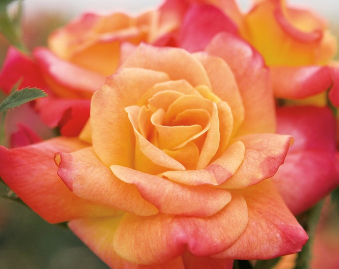 Joseph's Coat Rose Bush Fragrant Climbing Rose Grown Organic Potted - Own Root Rose Plant Non-GMO Orange, Apricot, Pink Flowers
