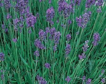 Lavender Munstead English Lavender  Plants Grown Organic Set of 4 Live Plants - Non-GMO