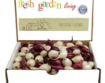 1 Lb. Mixed Red White Onion Sets Organic Grown Non-GMO | Onion Bulbs Shipping Now