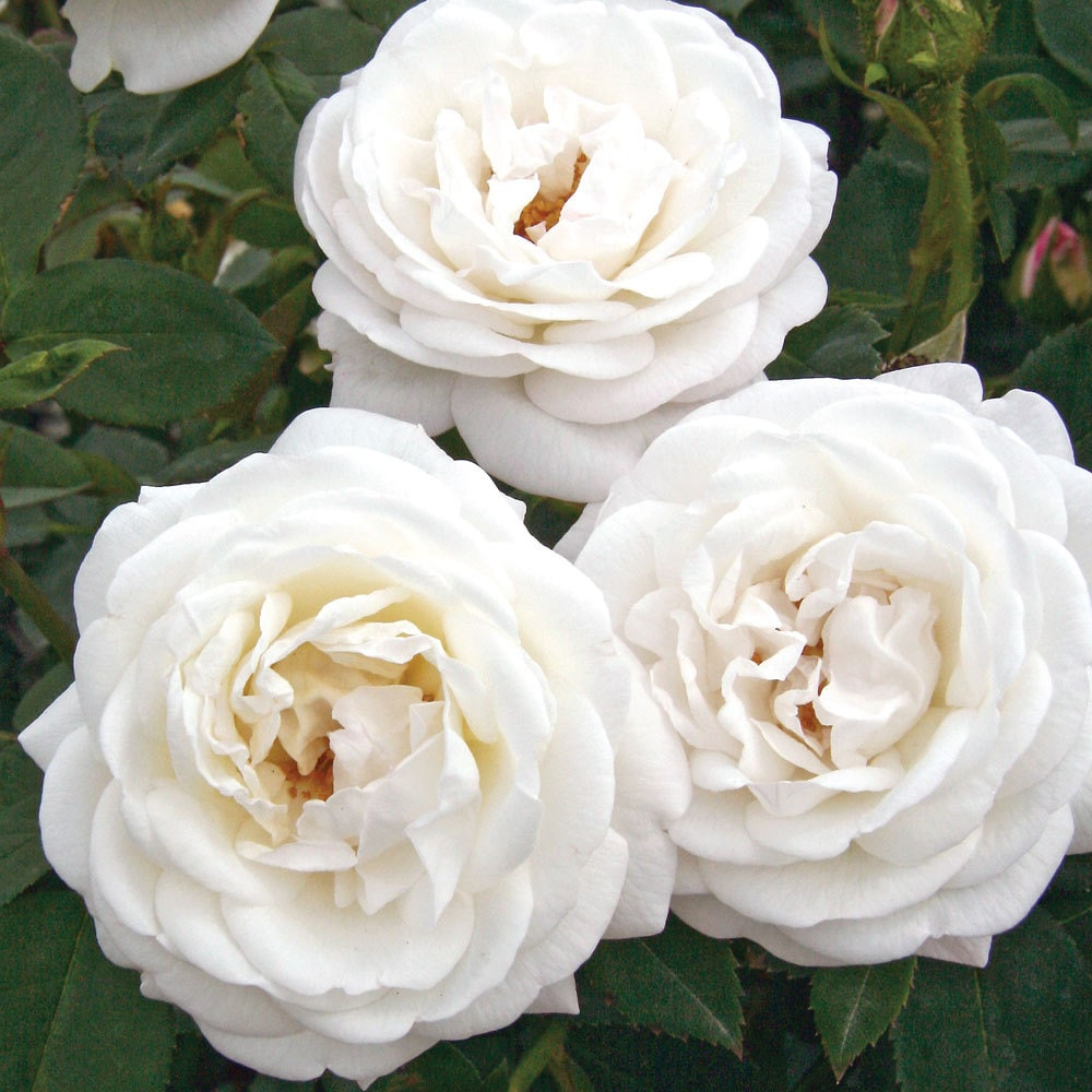 Milwaukees Calatrava Fragrant Shrub Rose Bush Large White Flowers
