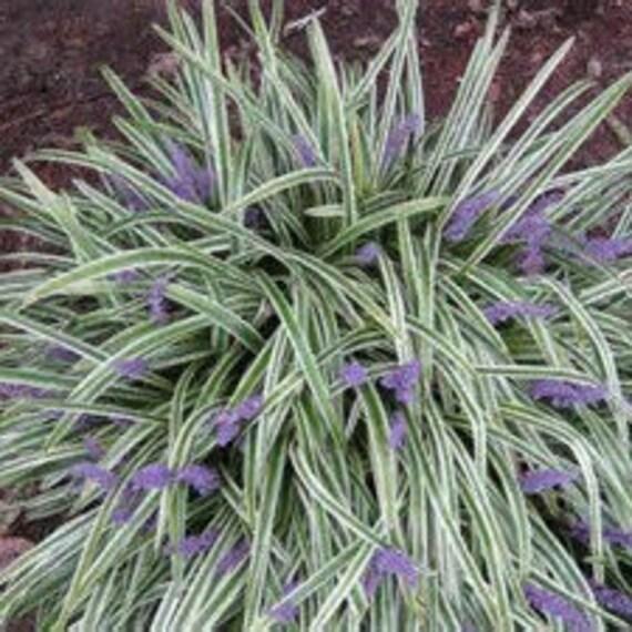 Zwerg Fee Gras Mehrjahrige Bodendecker Ophiopogon Japonicus Etsy
