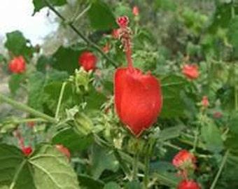 Turkscap Turk's Cap Malvaviscus arboreus Fast Growing Native Plant Flowering Shrubs Perennial Groundcover Hardy Plant Drought Tolerant