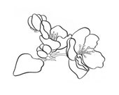 Apple Blossom coloring page