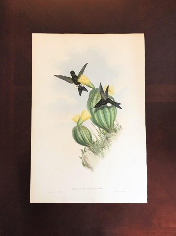 John Gould Reproductions Fine Art Print Sword-billed Hummingbird