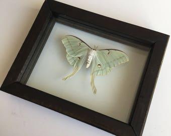 Luna Moth // Dried Luna Moth // Framed Moth // Real Luna Moth // Preserved Moth