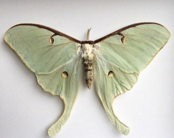 Luna Moth Loose // Dried Moth // Real Moth // Preserved Moths // Taxidermy Moths