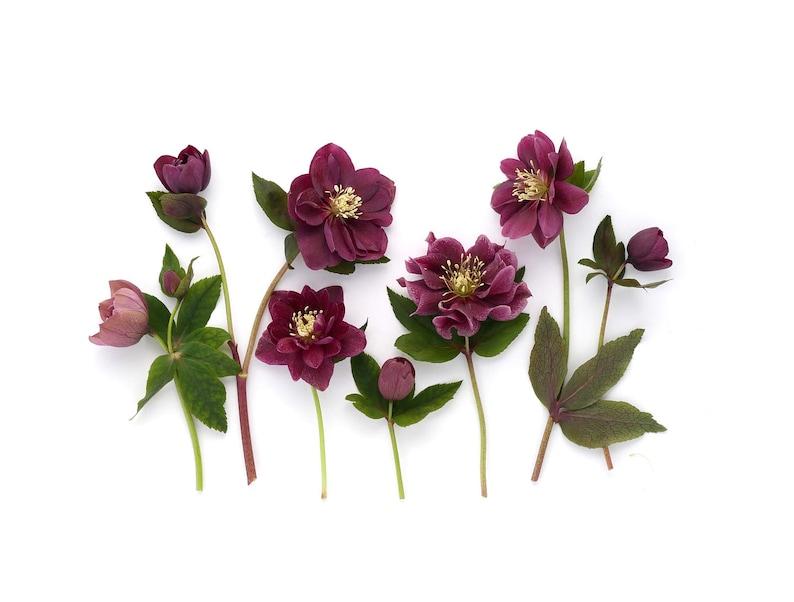 Note card  hellebores botanical art  spring flowers  image 0