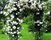 Climbing white roses seeds - 20seeds - code 386