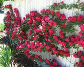 Climbing fuchsia roses,381, fuchsia rose,roses seeds,planting roses,growing roses from seeds