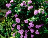 Climbing purple roses seeds- 20seeds - code 383
