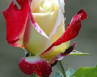 Red white rose seeds - 20 seeds - code 003