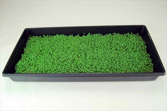 Endive: Green Curled Ruffec Microgreen Seeds 4 Oz  Package - Growing Micro  Greens
