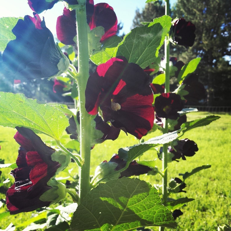 Black Hollyhock Seeds  Free shipping domestic image 0