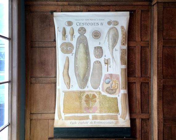 Antique Pull Down Chart, Bothriocephale Asian Tapeworm School Chart, Cestodes IV, Remy Perrier & Cepede, Scientific Illustration