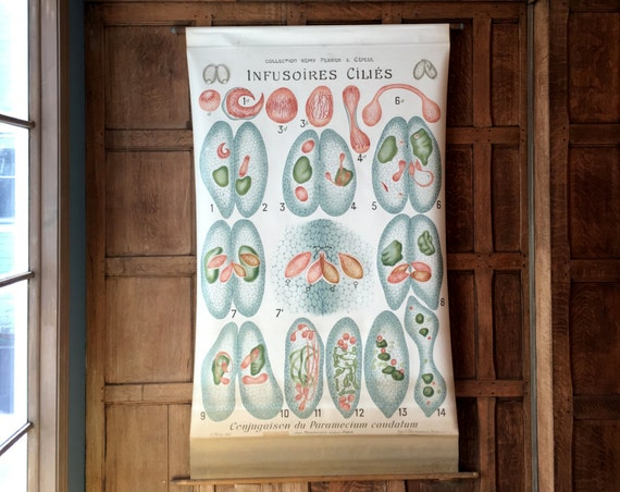 Antique Pull Down Chart, Infusoria Biological Chart, Remy Perrier & Cepede, Marine Biology