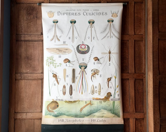 Antique Pull Down Chart, Mosquito Chart, Dipteres Culicides, Remy Perrier & Cepede, Scientific Illustration, Entomology School Chart