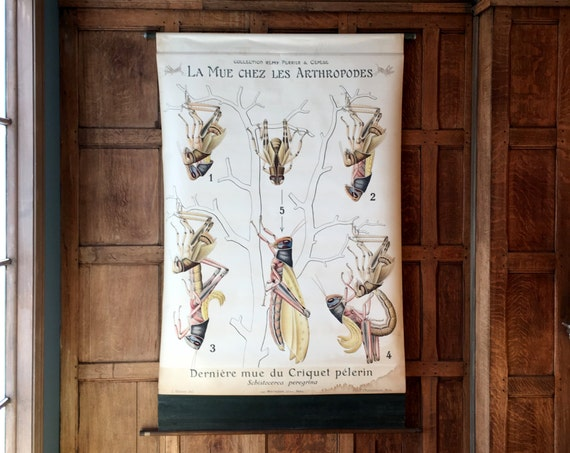 Antique Pull Down Chart, Grasshopper Molt Chart, La Mue Chez Les Arthropodes, Remy Perrier & Cepede, Scientific Illustration, Entomology