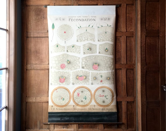 Antique Pull Down Chart, Fecondation Fertilization Biological Chart, Remy Perrier & Cepede School Chart, Scientific Illustration
