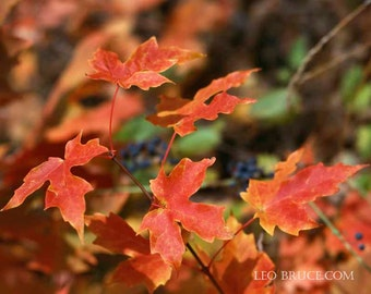 Print, Flora, Maple Leaves, Fall Colors, Ontario Canada, 1989