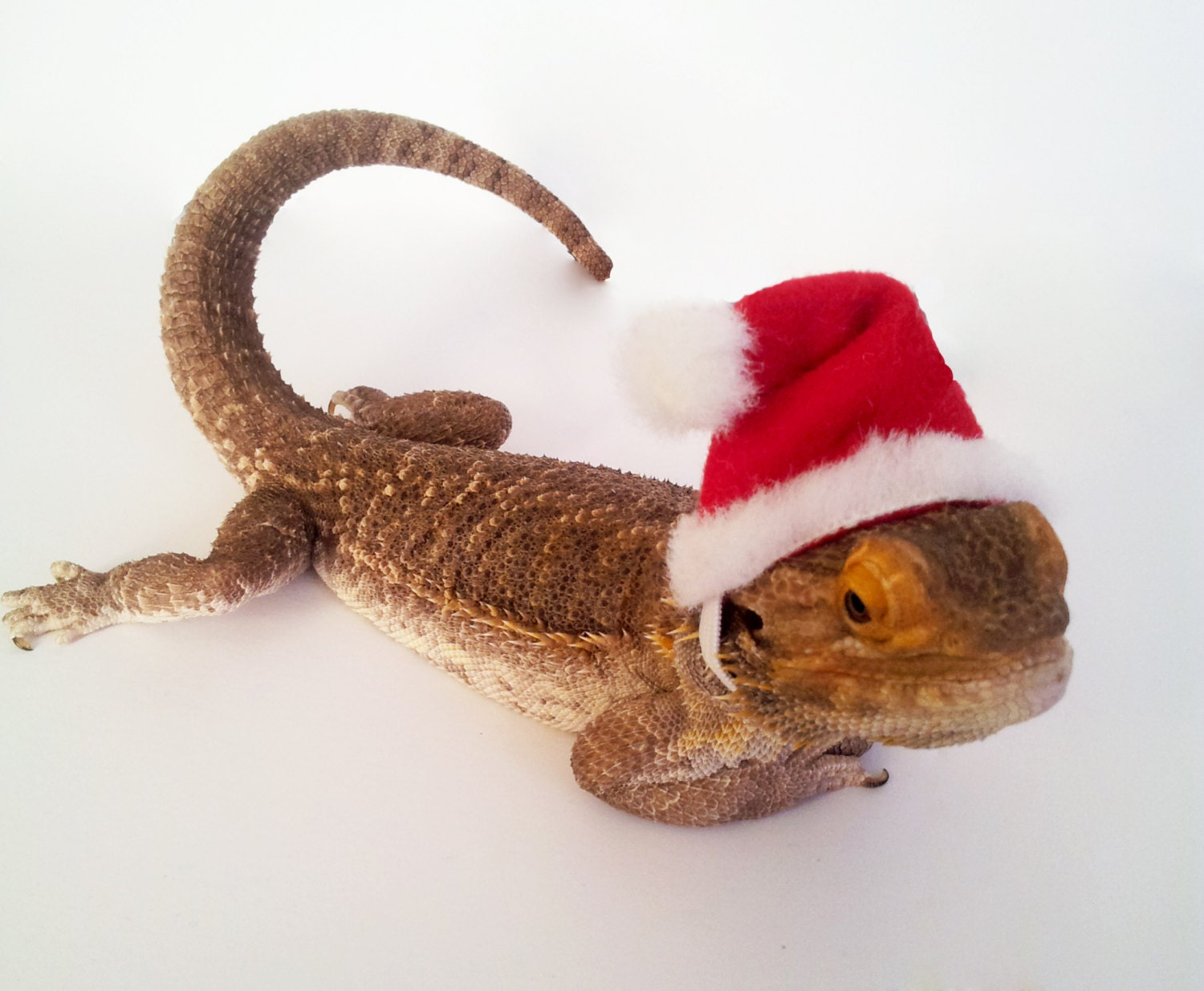 9da86d09049 Bearded Dragon Clothing Santa Hat