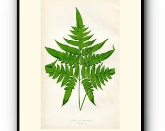 Antique Botanical Print Edward Joseph Lowe Fern Book Plate Pteris Hirsuta 1859 Wood Block Engraving