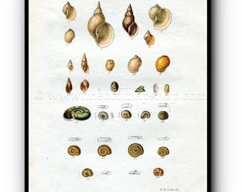 1859 1st edition Hand Coloured Engraving Book Plate XIX G B Sowerby Antique Shell Print