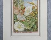 White Bindweed Flower Fai...