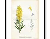 1922 Yellow Toadflax, Pal...
