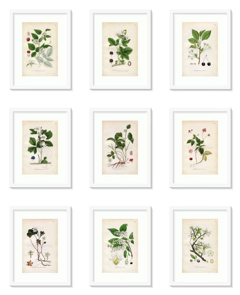 1926 Heath Cudweed Vintage Print by Lindman Botanical Flower Book Plate 527 Highland cudweed Gnaphalium sylvaticum, Gnaphalium norvegicum