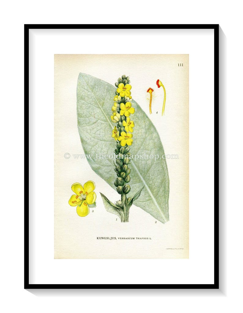 Green Verbascum Thapsus by Lindman Antique Print Botanical Flower Book Plate 111 Common Mullein Yellow 1922 Great Mullein