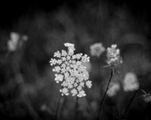 Queen Anne's Lace...