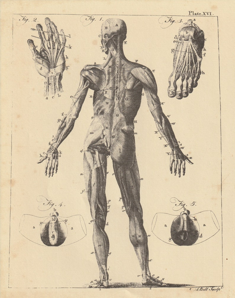 Anatomy Torso Anatomical Muscles Hand Feet Antique Engraving Etsy